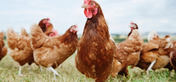 Miljoenen kippen minder, hoeveel stikstof scheelt dat?