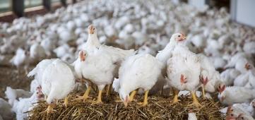 Sterke stijging aantal vleeskuikenbedrijven met Beter Leven ster